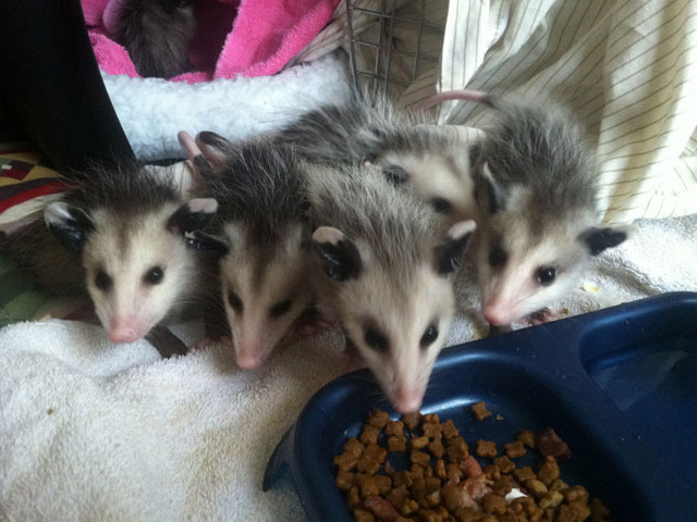 Wildlife Rehabilitation in Kingsport, TN